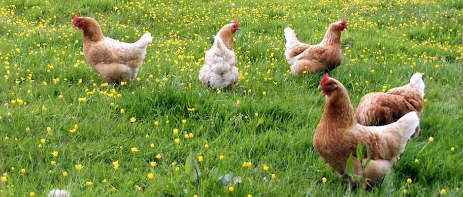 Hens at Braeburn Bed and Breakfast